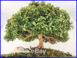 Japanese Bonsai Tree Kingsville Boxwood Rare