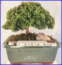 Japanese Bonsai Tree Kingsville Boxwood Rare FREE SHIPPING