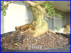 Japanese Boxwood Buxus Pre Bonsai Shohin Dwarf Big Fat Large Huge Trunk Nebari