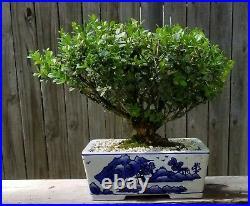 Japanese Boxwood bonsai. Porcelain blue and white 12 ceramic pot. Old tree