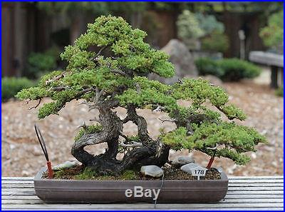 Japanese Cedar, Excellent for bonsai's Outdoor tree, Beautiful