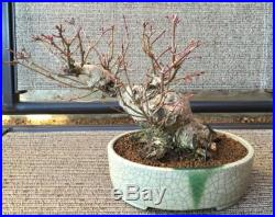Japanese Chinese Green Mountain Maple Bonsai