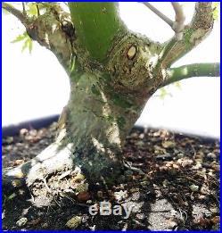 Japanese Cut Leaf Maple Bonsai Tree