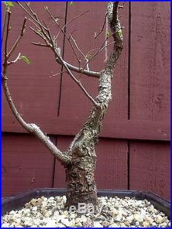 Japanese Elm Zelkova Bonsai Specimen