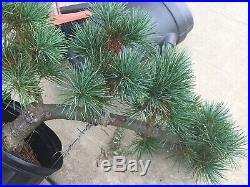 Japanese Five Needle White Pine Blue Lou Pre Bonsai Tree
