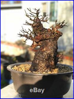 Japanese Flowering Apricot Bonsai Massive trunk Prunus Mume Ume rare pink 65 yrs