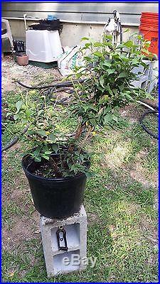 Japanese Flowering Apricot Pre Bonsai Specimen Prunus Mume Ume