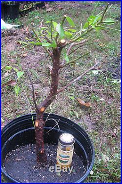Japanese Flowering Apricot Prunus Mume Ume Pre Bonsai Specimen Tree