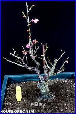Japanese Flowering apricot 'Mume' bonsai specimen tree #30