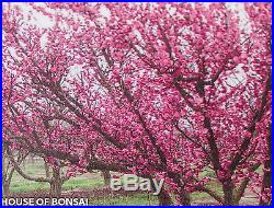 Japanese Flowering, fruiting apricot'mume' bonsai tree # 13