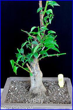 Japanese Flowering, fruiting apricot'mume' bonsai tree #15