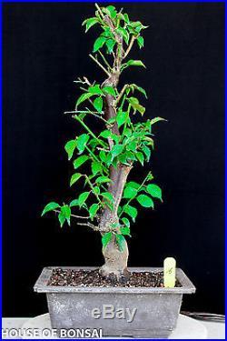 Japanese Flowering, fruiting apricot'mume' bonsai tree #16