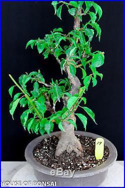 Japanese Flowering, fruiting apricot'mume' bonsai tree #19