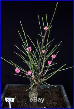 Japanese Flowering, fruiting apricot'mume' bonsai tree #73