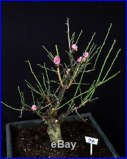 Japanese Flowering, fruiting apricot'mume' bonsai tree #74