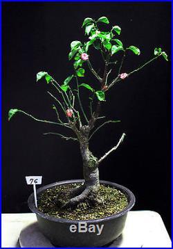 Japanese Flowering, fruiting apricot'mume' bonsai tree #76
