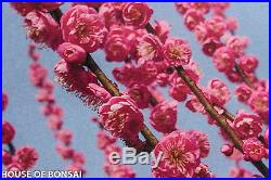 Japanese Flowering, fruiting apricot'mume' bonsai tree #79