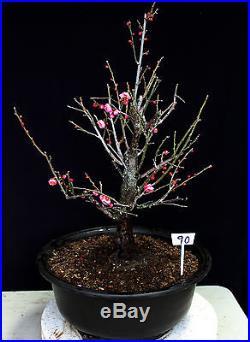 Japanese Flowering, fruiting apricot'mume' bonsai tree # 90
