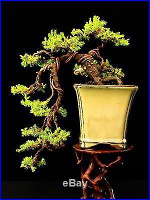 Japanese Garden Juniper Bonsai Cascade Style