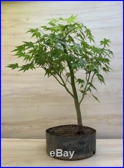 Japanese Green Maple Bonsai Tree Mame Shohin Kifu Momiji Nebari Big Thick Trunk