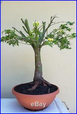 Japanese Green Maple Bonsai Tree, SALE