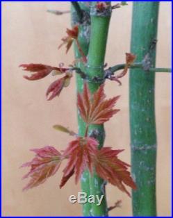 Japanese Green Maple Pre Bonsai Tree Triple Trunk Nice Shohin Kifu Nebari