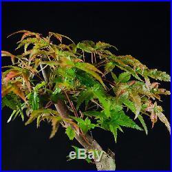 Japanese Green Maple Shohin Bonsai Tree Acer Palmatum # 9570_1