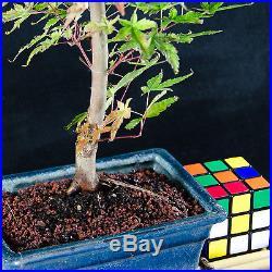 Japanese Green Maple Shohin Bonsai Tree Acer Palmatum # 9934_1