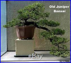 Japanese Juniper Bonsai Starter Tree 4 pot Juniperus procumbens Nana