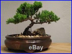 Japanese Juniper Bonsai tree Best gift free shipping