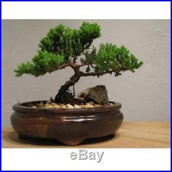 Japanese Juniper Tree 6-8 Bonsai Best Gift free shipping