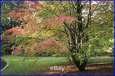 Japanese Katsura, Cercidiphyllum japonicum, Tree Seeds (Fall Colors)