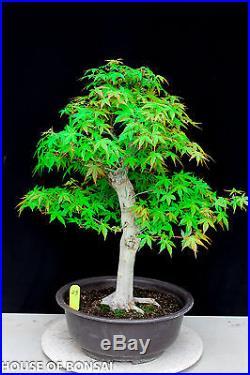 Japanese Katsura maple specimen bonsai tree #23