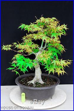 Japanese Katsura maple specimen bonsai tree #24
