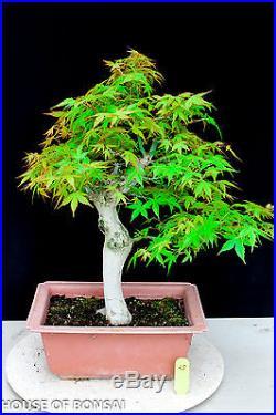 Japanese Katsura maple specimen bonsai tree #25