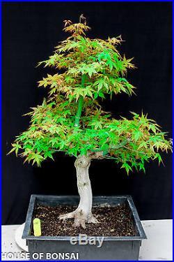 Japanese Katsura maple specimen bonsai tree #26
