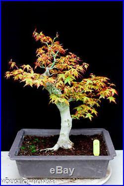 Japanese Katsura maple specimen bonsai tree #27