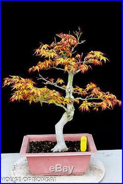 Japanese Katsura maple specimen bonsai tree #28