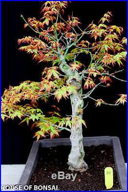 Japanese Katsura maple specimen bonsai tree #30