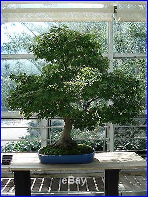 Japanese Maple, Acer palmatum, Tree Seeds (Fall Colors)