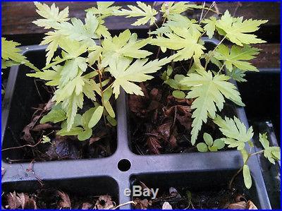 Japanese Maple, Acer palmatum, Tree Seeds Fall Colors Ready to PLANT Bonsai