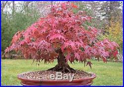 Japanese Maple Artropurpureum Acer palmatum bonsai tree seeds