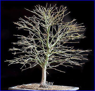 Japanese Maple Bonsai (Acer Palmatum)