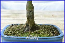 Japanese Maple Bonsai Sharps Pygmy