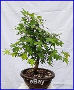 Japanese Maple Bonsai Tree