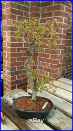 Japanese Maple Bonsai Tree #301