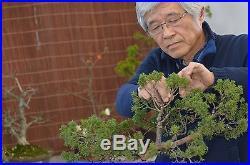 Japanese Maple Bonsai Tree #343