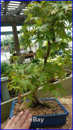 Japanese Maple Bonsai Tree #363