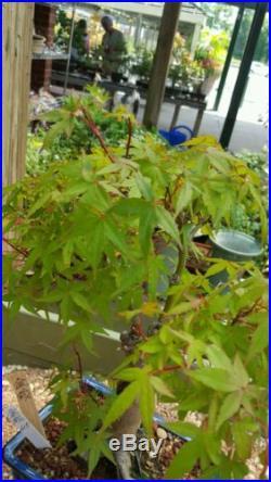 Japanese Maple Bonsai Tree #615
