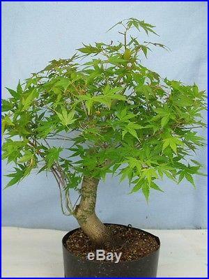 Japanese Maple Bonsai Tree High Quality Stock Great Movement! Like trident
